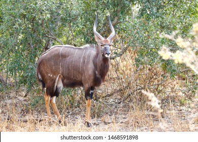 Nyala Bull (disambiguation) standing in the open in the bushveld.
