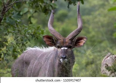 Nyala Bull Portrait