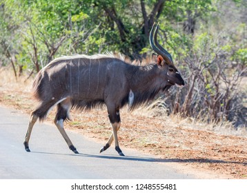 An Nyala bull in Southern Africa