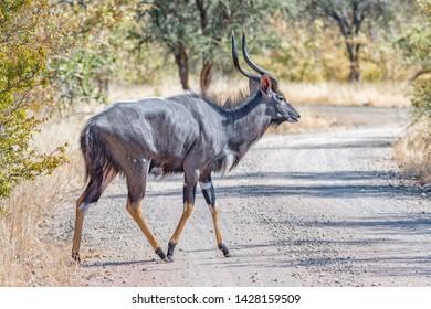 A nyala bull, Tragelaphus angasii, crossing a gravel road