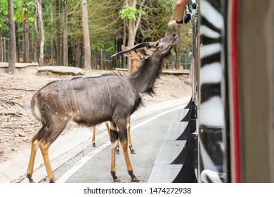 Nyala Bull (Tragelaphus angasii) stand begging for food from tourists in the open in open zoo.