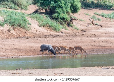 A nyala bull, Tragelaphus angasii, a young bull and cows drinking water in the Levuvhu River