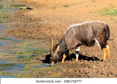 Nyala bull at a waterhole