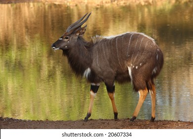 Nyala bull with the waterhole as a back ground.