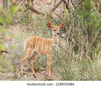 An Nyala calf in Southern Africa