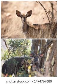Nyala couple portrait of tragelaphine antelope