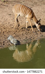 Nyala cow and monkey drinking water from calm water with sand in background