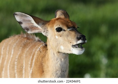 Nyala ewe antelope with large ears eating wild fruit