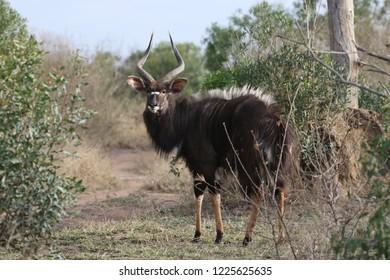 nyala fighting for females at Mkhaya game reserve in Swaziland - safari, game drive