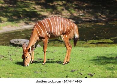 Nyala grazing in the savannah (Tragelaphus angasii)