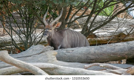 Nyala hiding behind some logs under a tree