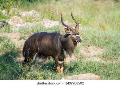 Nyala horned male in Kruger National park, South Africa ; Specie Tragelaphus angasii family of Bovidae