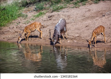 Nyala in Kruger National park, South Africa ; Specie Tragelaphus angasii family of Bovidae