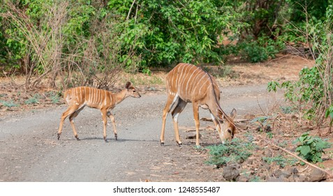 An Nyala mother and calf in Southern africa