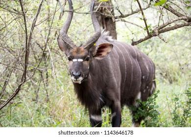 Nyala Ram in the bush