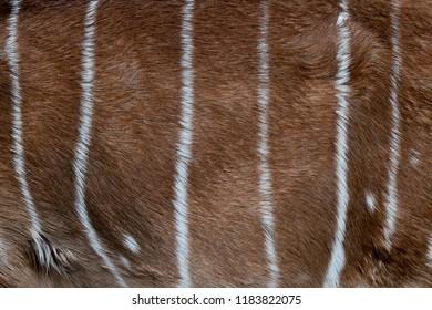 Nyala skin pattern. Nyala fur close-up. Animal natural leather background.