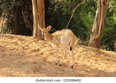 A Nyala in South Africa
