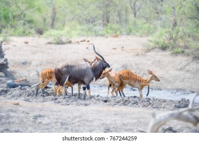 Nyala (Tragelaphus angasi)  bull with harem of ewes.  During a drought at a drying waterhole