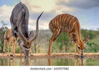 NYALA (Tragelaphus angasi)  Male and female drinking at a waterhole, Zululand, South Africa