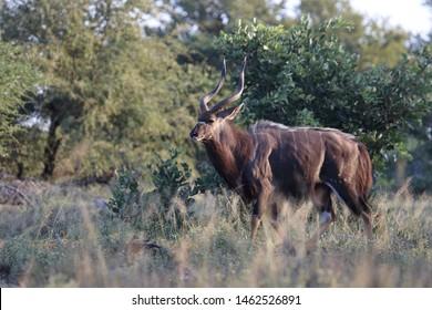 Nyala / Nyala / Tragelaphus angasii