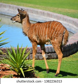 The nyala (Tragelaphus angasii) is a spiral-horned antelope native to Southern Africa. It is a species of the family Bovidae and genus Nyala, also considered to be in the genus Tragelaphus.