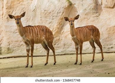 Nyala (Tragelaphus angasii). Wild life animal.