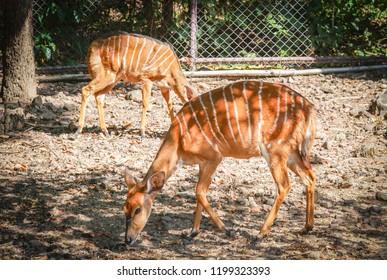 Nyala wildlife / Female nyala south africa animals wildlife standing on the deer farm at national park - simply nyala (Tragelaphus angasii)