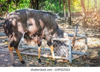 Nyala wildlife / Male nyala south africa animals wildlife eating on the deer farm at national park - simply nyala (Tragelaphus angasii)