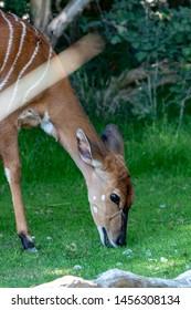Nyala in an zoo, eating grass