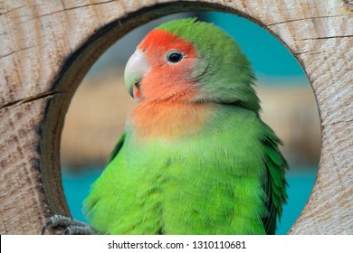 Nyasa Lovebird or Lilian's lovebird, Agapornis lilianae, green exotic parrot bird sitting on wooden stand