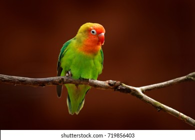 Nyasa Lovebird or Lilian's lovebird, Agapornis lilianae, green exotic bird sitting on the tree, Namibia, Africa. Beautiful parrot in the nature habitat. Brown clear background.