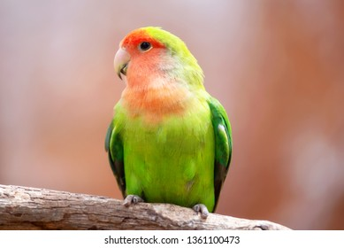 Nyasa lovebird or lilians lovebird, exotic parrot bird, perched on a tree branch .