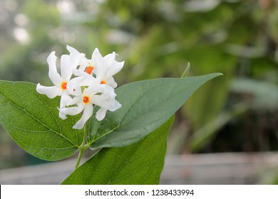 Nyctanthes arbor tristis( night flowering jasmine, parijat, Gangaseuli, Jharaa sephali, Siuli) flower blooming in nature with beautiful bokeh natural background.copy space for text or word.