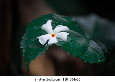 Nyctanthes, Nyctanthes arbor-tristis, Shiuli flower -6