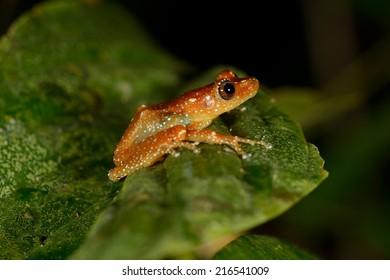 Nyctixalus pictus