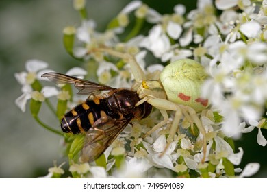 NYKOPING, SWEDEN - OCTOBER 22: Crab spider caught a flower fly and eating on it in Nykoping, Sweden, October 22, 2017