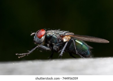 NYKOPING, SWEDEN - OKTOBER 22: Close up of a fly sitting and washing in Nykoping, Sweden, Oktoberl 22, 2017.