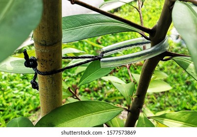 Nylon tie with transparent rubber tubing for shrub staking on bamboo support. Prevent damage to stem and allow its swaying movement during windy day.