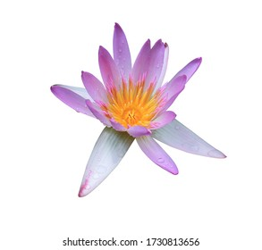 Nympahea, Lotus, Water lily, Close up single beautiful pink lotus flowers with water droplets isolated on white background.