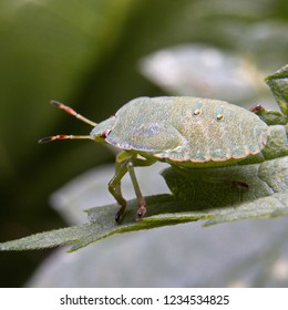 The nymph of the bedbug of the green  Palomena prasina is sitting on a leaf of a green plant