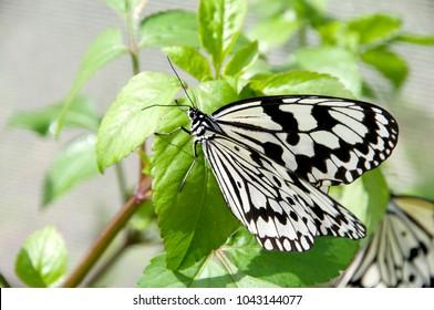 Nymph (Idea leuconoe) butterfly