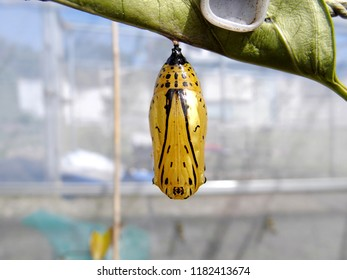 Nymph (Idea leuconoe) butterfly golden-colored pupae,