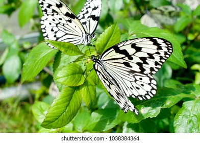 Nymph (Idea leuconoe) butterfly with green leaves background