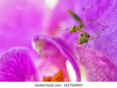 Nymph of mantis cannibal on pink orchid flower. cannibalism is normal in insect macro world