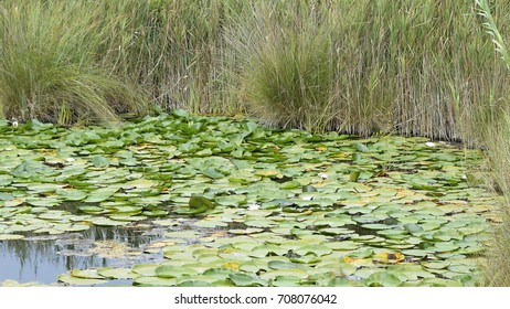 Nymphaea alba (European white water lily or white nenuphar), an aquatic flowering plant of the family Nymphaeaceae
