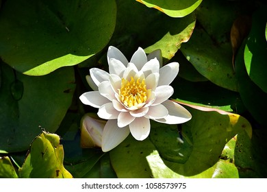 Nymphaea alba, also known as the European white water lily, white water rose or white nenuphar, is an aquatic flowering plant.