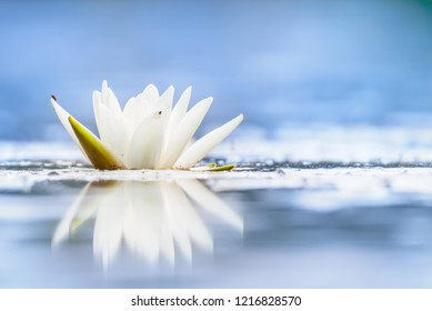 Nymphaea alba, also known as the European white water lily, white water rose or white nenuphar. Beautiful royal white flower with reflection on a pale blue water surface.