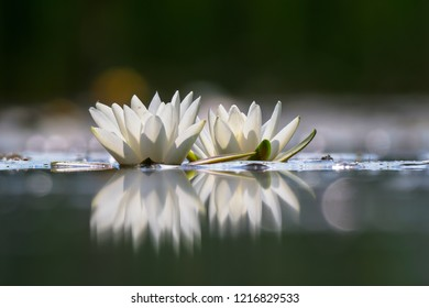 Nymphaea alba, also known as the European white water lily, white water rose or white nenuphar. Two beautiful white flowers with reflection on a pale blue water surface.