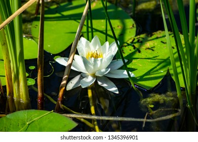 Nymphaea alba, also known as the European white water lily, white water rose or white nenuphar, is an aquatic flowering plant