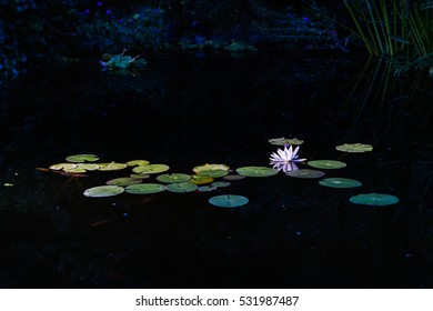 Nymphaea alba (known as the European white water lily or white water rose)